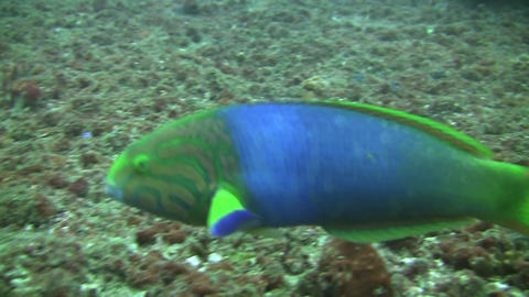 Green Moon Wrasse Footage