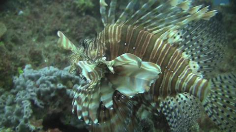 Lion Fish Stock Video Footage