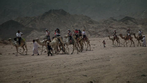 Large group of tourists is riding the camels lead  Footage