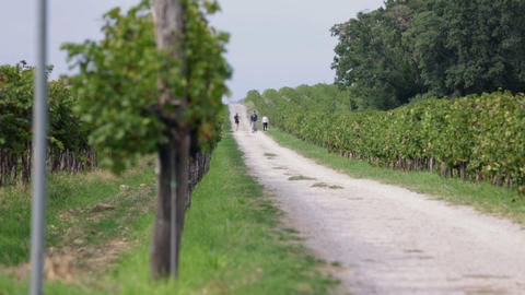 Shot Of Macadam Path Through Grape Stems stock footage