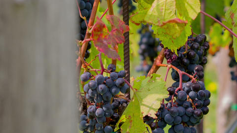 Tilt shot of bunch of blue grapes and vines Footage
