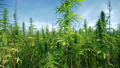 Large industrial hemp plants Footage