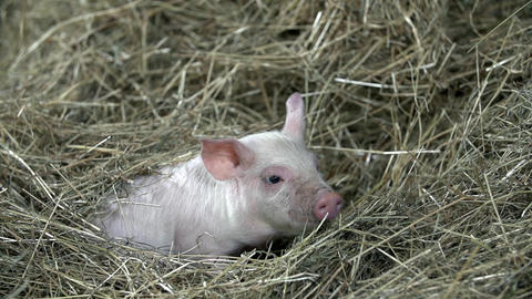 Little pig is laying in pile of hay wondering what Footage