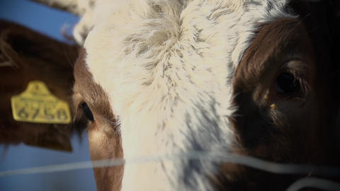 Detail shot of cow's eyes Footage