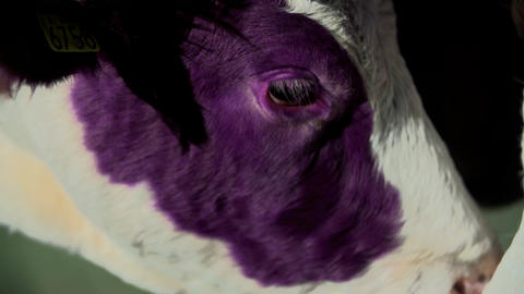 Two cows touch with their muzzles Footage