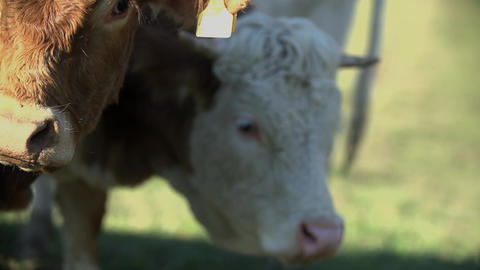 Cattle grazing the meadow Footage