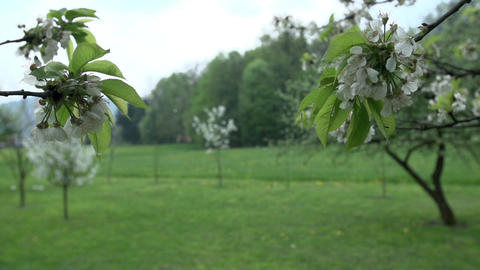 Blossoming apple tree branches in the spring Footage
