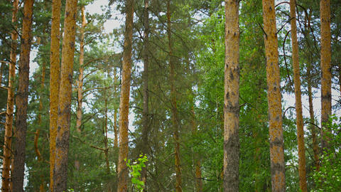 Vertical Pan. Pine Forest During The Day stock footage