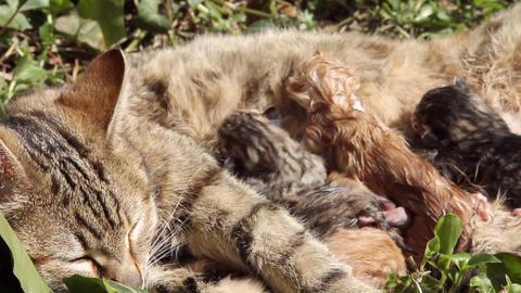10 minutes old newborn cat is drinking milk 4 Stock Video Footage