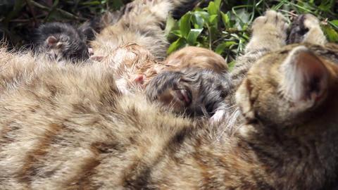 10 minutes old newborn cat is drinking milk 2 Stock Video Footage