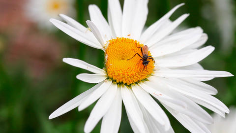 Wasp on the chamomile Footage