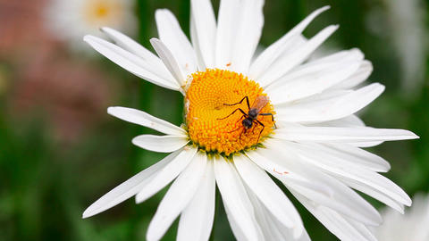 Wasp on the chamomile Stock Video Footage