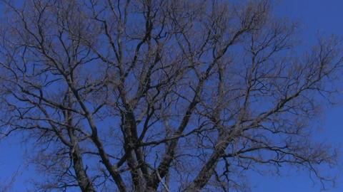 Oak crown Stock Video Footage