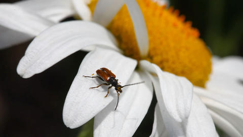 Brown beetle Stock Video Footage