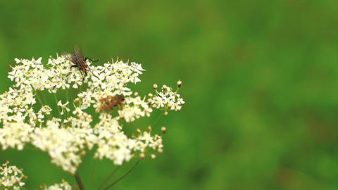 Bugs On Wild Flower 01 Stock Video Footage