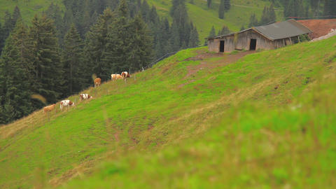 In The Alps 04 Cows Stock Video Footage