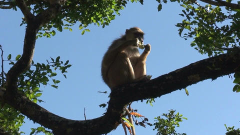 Malawi: monkey eating sugar Footage
