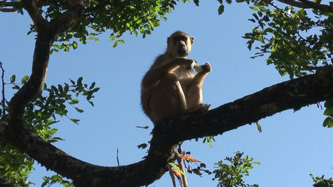 Malawi: monkey eating sugar Stock Video Footage
