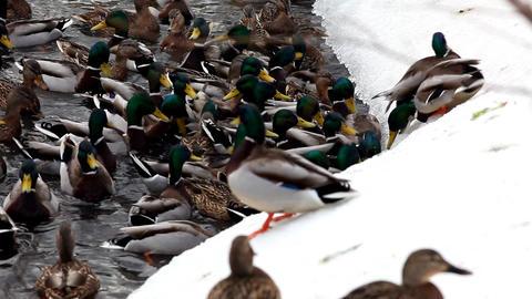 2088 Ducks Feed LakeSide HD J96S Stock Video Footage