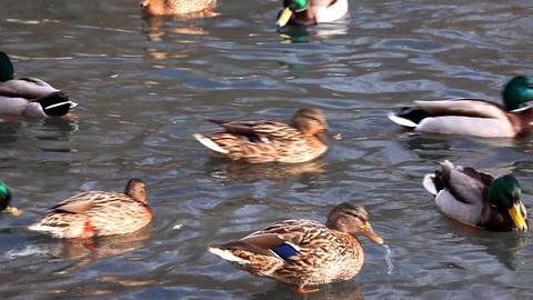 2121 Duck Walk Ice HD J96 Stock Video Footage