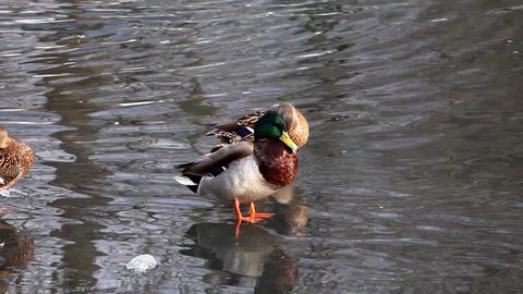 2123 Duck Fight Lake HD J96 Stock Video Footage