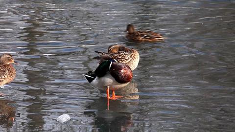 2123 Duck Fight Lake HD J96 Footage