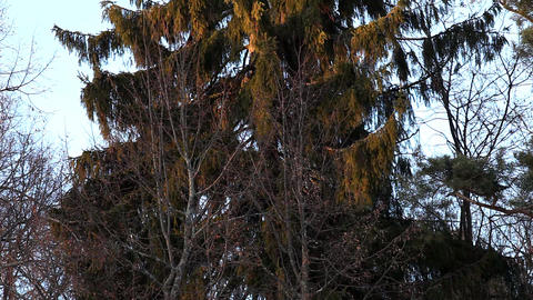 Panorama on winter conifer Stock Video Footage