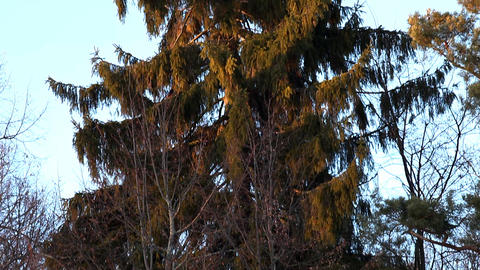 Panorama on winter conifer Live Action