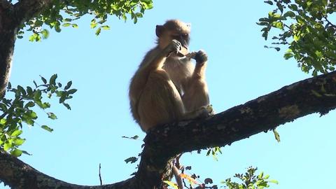 Malawi: monkey eating sugar 3 Stock Video Footage