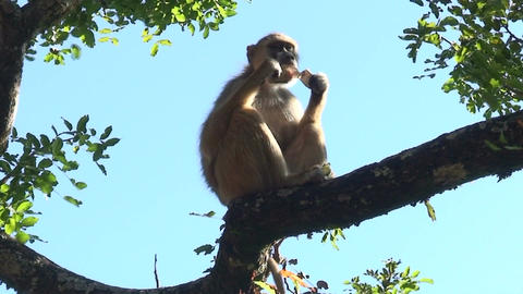 Malawi: monkey eating sugar 3 Footage