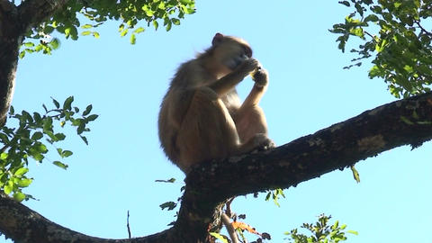 Malawi: monkey eating sugar 3 Stock Video Footage