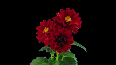 Stereoscopic 3D time-lapse of opening red dahlia 1 (left-eye) Footage