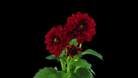 Stereoscopic 3D time-lapse of opening red dahlia 1... Stock Video Footage