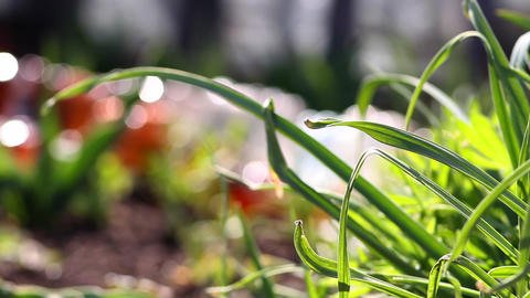Beautiful Grass Garden Close-up stock footage