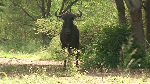 Malawi: blue devil in a wild 4 Stock Video Footage