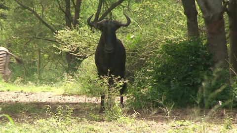 Malawi: blue devil in a wild 4 Stock Video Footage