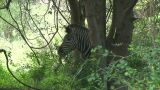 Malawi: Zebra In A Wild 3 stock footage