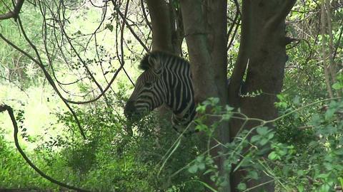 Malawi: zebra in a wild 3 Stock Video Footage