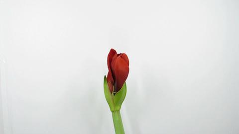Amaryllis flower blooming timelapse 2 Stock Video Footage