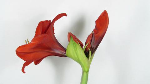 Amaryllis flower blooming timelapse 4 Stock Video Footage