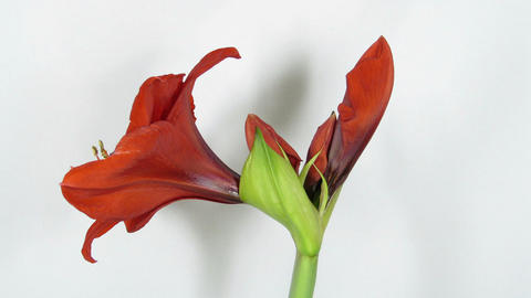 Amaryllis flower blooming timelapse 4 Footage