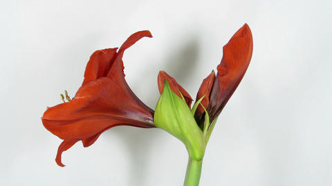 Amaryllis flower blooming timelapse 4 Stock Video Footage