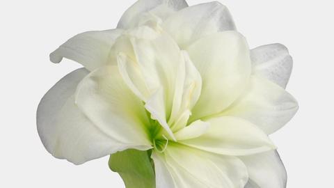 "Time-lapse opening ""Alfresco"" white amaryllis Christmas... Stock Video Footage"