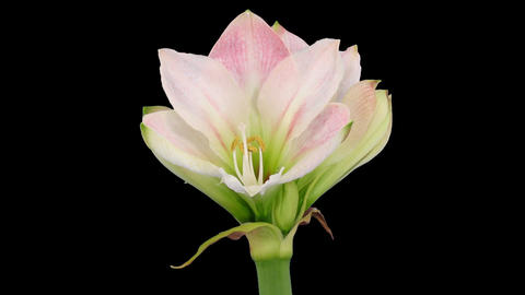 "Time-lapse opening ""Apple Blossom"" amaryllis Christmas flower alpha matte 4 Footage"