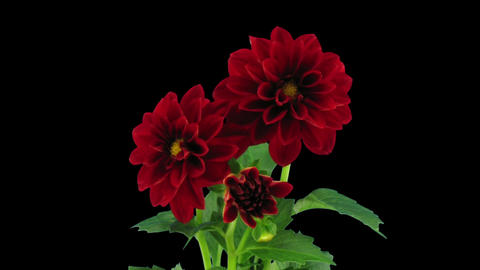 Stereoscopic 3D time-lapse of opening red dahlia 1b... Stock Video Footage