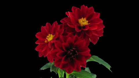Stereoscopic 3D time-lapse of opening red dahlia 1b (right-eye) Footage