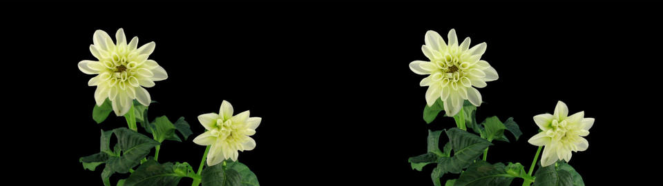 Stereoscopic 3D time-lapse of opening white dahlia 1 (cross-vision) Footage