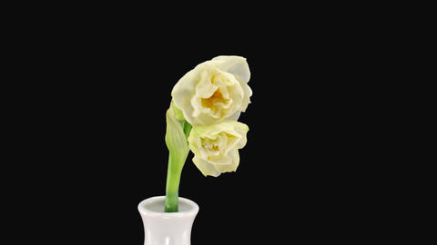 """Stereoscopic 3D time-lapse of opening narcissus """"Bridal... Stock Video Footage"""