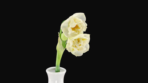 "Stereoscopic 3D time-lapse of opening narcissus ""Bridal Crown"" 1 right eye Footage"