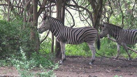 Malawi: zebra in a wild 6 Footage